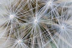 Dandelion close up (EDBW) Tags: white plant flower macro iso3200 f14 dandelion 1200 60mm nikkor 3200 lightroom macrolens d300 wishingflower minasfarmhouse