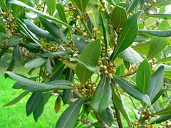 Symbolic Laurel meaning and ties to the name Laura speak of nobility and glory