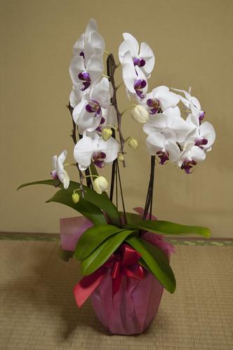 1番にエントリー記念の胡蝶蘭