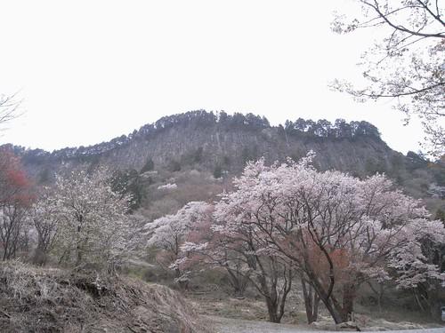 【桜】『屏風岩公苑』@曽爾村-08