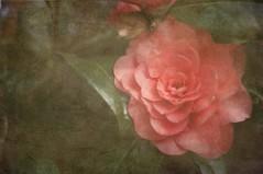 camellia (lesbru) Tags: photoshop 50mm textures romantic camellia hazy d300 sognidreams redtopink