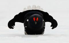 Teeri (mattisj) Tags: bird explore lintu blackgrouse tetraotetrix tetrix specanimal teeri tatrao