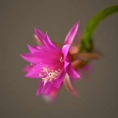 Orchid cactus (shinichiro*) Tags: flower macro japan spring nikon getty d3 kawasaki rf excellence aroundhome planart5014zf 2009crazyshin ds38179 gettyflowers2 0009999 20091120