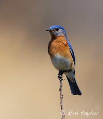 of happiness (Kim Taylor Hull) Tags: bird nature birds animals nikon wildlife feathers wetlands finiky d3 naturesfinest bombayhooknwr nikond3 600mmf4afs