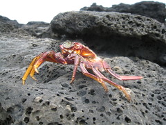 1st crab sighting (hellebelle) Tags: hawaii rocks maui crabs volcanic nakalele nakalelepoint decapods