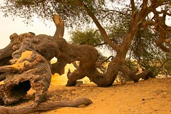 (854) Akazie / ancient tree / desert / egypt (unicorn 81) Tags: africa old travel plants tree sahara nature trekking landscape geotagged nationalpark sand desert northafrica egypt egyptian egipto 2009 gypten egitto egypte reise egypten rundreise roundtrip egipt gypte mapegypt whitedesert misr nordafrika egypttrip libyandesert april2009 gypten deserttour aegyptus unicorn81  whitedesertnationalpark gyptusintertravel gyptenreise schulzaktivreisen nationalparkweisewste nationalparkwhitedesert wstenreise meinjahr2009