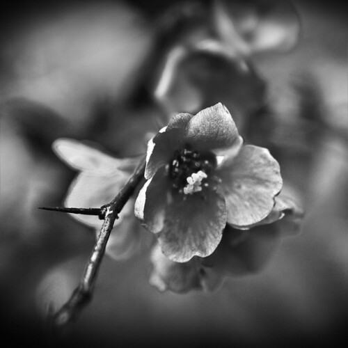 black and white flowers photography. lack amp; white flower