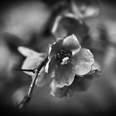 black & white flower (Denio Stef) Tags: bw white black blur flower detail nature canon dead petals flickr estrellas twig passion spine pollen thorn 40d