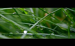 (241/365) (jla ) Tags: green grass rain weather iceland drops spring nice