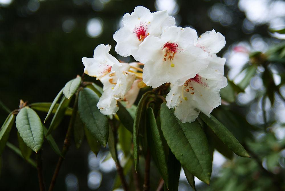 奇萊Day1-20 白色玉山杜鵑