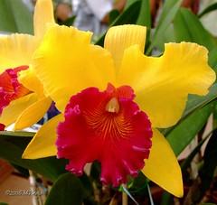 Orqudea_144 (Marcelo Piraj) Tags: flora natureza macros orqudeas flres