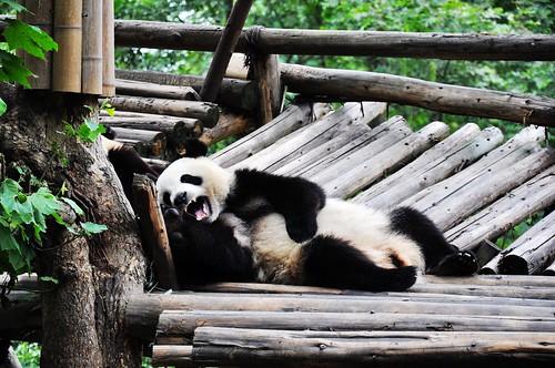 Panda 111