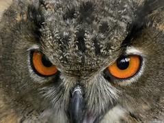 Owl eyes (Nemodus photos) Tags: nature owl wmp fz30 ineffable theunforgettablepictures lumixaward vipveryimportantphotos mindigtopponalwaysontop today´sbest