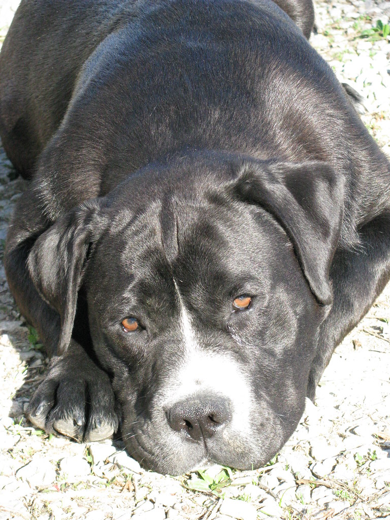 labrador bulldog mix the world s best photos of bullador and lab flickr hive mind 6588