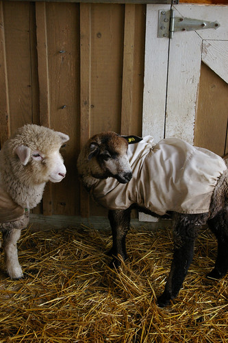 Romney and CVM lambs