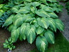 Hosta Warpaint habit