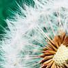 Dandelion detail (Cristina Rossi Photography) Tags: macro up close dandelion ef100mmmacrof28