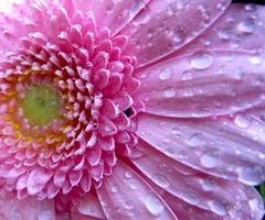pinkelicious (ToJoLa) Tags: pink flower nature wet rain canon drops gerbera 2009 regen bloem oirschot regendruppels ontrack aplusphoto platinumheartaward canong10