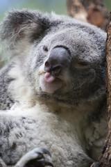 Beware! (WilliamBullimore) Tags: nature tongue fauna au australia brisbane koala queensland dropbear naturesfinest vosplusbellesphotos
