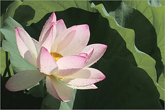 Lotus Flower - IMG_9429 (Bahman Farzad) Tags: flower macro yoga petals key peace lotus relaxing peaceful hi meditation therapy lotusflower lotuspetal lotuspetals lotusflowerpetals lotusflowerpetal
