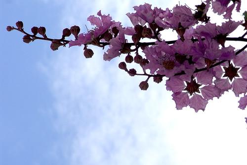 大花紫薇03