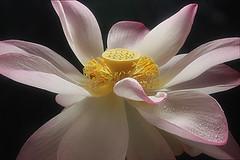 Lotus Flower - IMG_2655 (Bahman Farzad) Tags: flower macro yoga peace lotus relaxing peaceful meditation therapy lotusflower lotusflowers lotuspetal lotuspetals lotusflowerpetals lotusflowerpetal