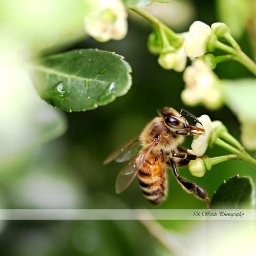 5.17 bee (crop)