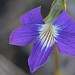 Early Blue Violet (Viola palmata)