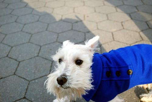 Miniature Schnauzer Dog. small dog miniature schnauzer