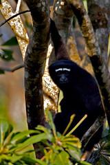 AS_0000010642 (dickysingh) Tags: india outdoor aditya ape singh gibbon dicky photographyrocks adityasingh ranthamborebagh theranthambhorebagh hoolockgibbon namdaphanationalpark wwwranthambhorecom