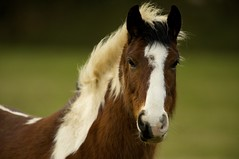 Frankie, Rescued Pony, Kildare, Ireland (chrisps) Tags: ireland horses nikon ponies rescued kildare d700 vosplusbellesphotos