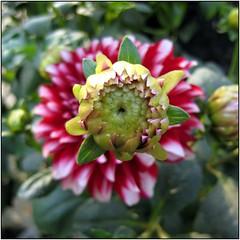 Baby Dahlia I (Russell John) Tags: dahlia flowers dhaka bangladesh dhanmondi  ixus70 russelljohn