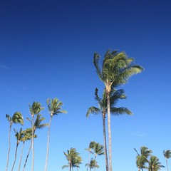 The blue skies and green palms of a cloudless day on Maui.