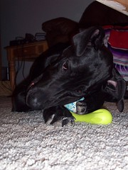 Toy hog. (legallyglinda) Tags: dog toy hog