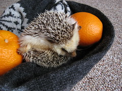 poooosh (Go! Shawn!) Tags: orange pet cute scarf marathon adorable hedge hedgehog oranges hog quils erinaceinae