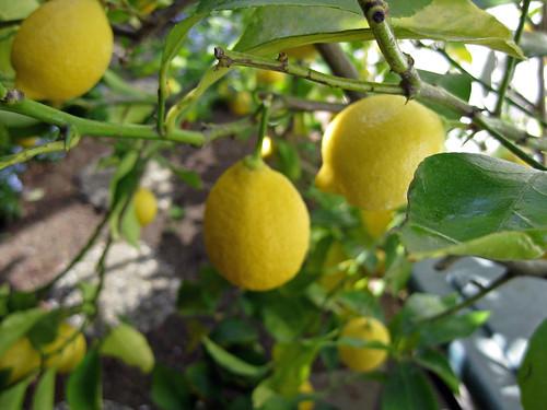 Garden- Lemons