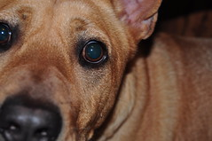 "Atticus, aka ""Mr. No Nuts"" - h (SouthernBreeze) Tags: light usa dog pet pets brown eye dawg face animal america nose eyes nikon mr huntsville body head expression no united unitedstatesofamerica alabama tan nuts ears canine american eyebrow expressive fixed mister states testicles 2009 doggie eyebrows pupil k9 atticus blown eunuch cuss castrated d90 southernbreeze castigated nikond90 mrnonuts"