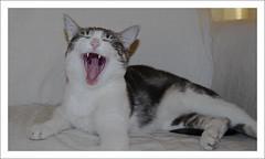 Cat-Human Relationships: You are boring! In your face! (LinoPhilippe) Tags: chile santiago cats cat nikon kitten feline chat kitty gatos gato felino katze nikkor gatto katzen kot matou chatte chaton  d60  hauskatze  felidi 1855mmf3556gvr