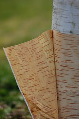 _--_= (warm winds) Tags: nature writing book natural bark page birch language morsecode punchcard ideogram openbook betulapapyrifera paperbirch languageofnature turningpage warmwinds naturepages