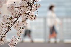 20090406 sakura #9 (open-arms) Tags: pink people flower bokeh sigma explore sakura stroll 2009 d60 70210mm 365days