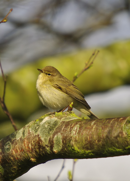 Chiffchaff on Easter Sunday