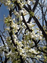 White Buds, Blue Sky (leafytreeful) Tags: flowers blue sky brown white flower lexington kentucky branches arboretum lexingtonky universityofkentucky whitebud ukarboretum