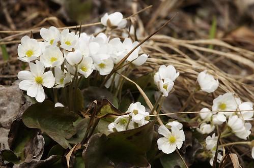 Hepatica nobilis | Leverbloempje, Liverleaf