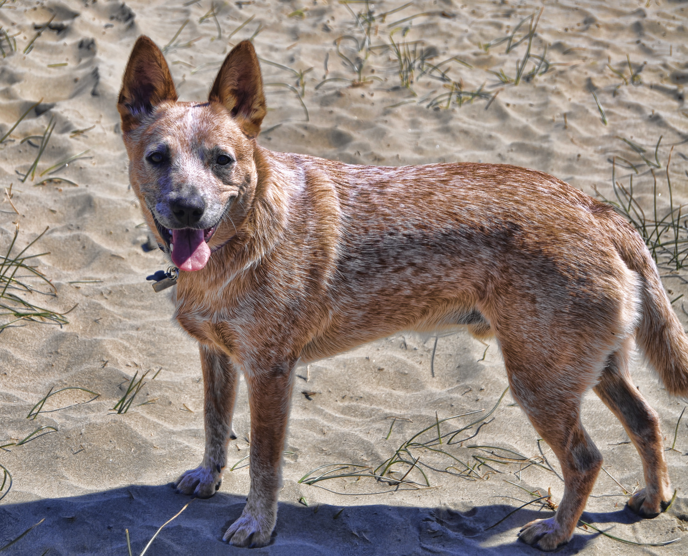 Heeler Mix Related Keywords & Suggestions - Queensland Heeler Mix ...
