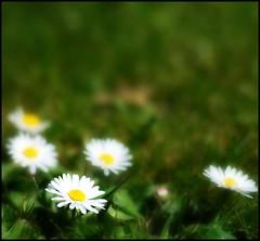 DAISIES (Darren Speak) Tags: flower yellow daisy