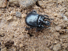 Scarab beatle (Spiderman Tyres) Tags: insect beatle