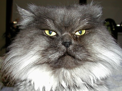Buster 2 (PJSherris) Tags: cute green yellow cat eyes feline sweet fluffy olympus buster gatto olympusc4040z c4040z himalayn