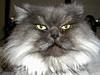 Buster 2 (PJSherris) Tags: cute green yellow cat eyes feline sweet fluffy olympus buster gatto olympusc4040z c4040z himalayn