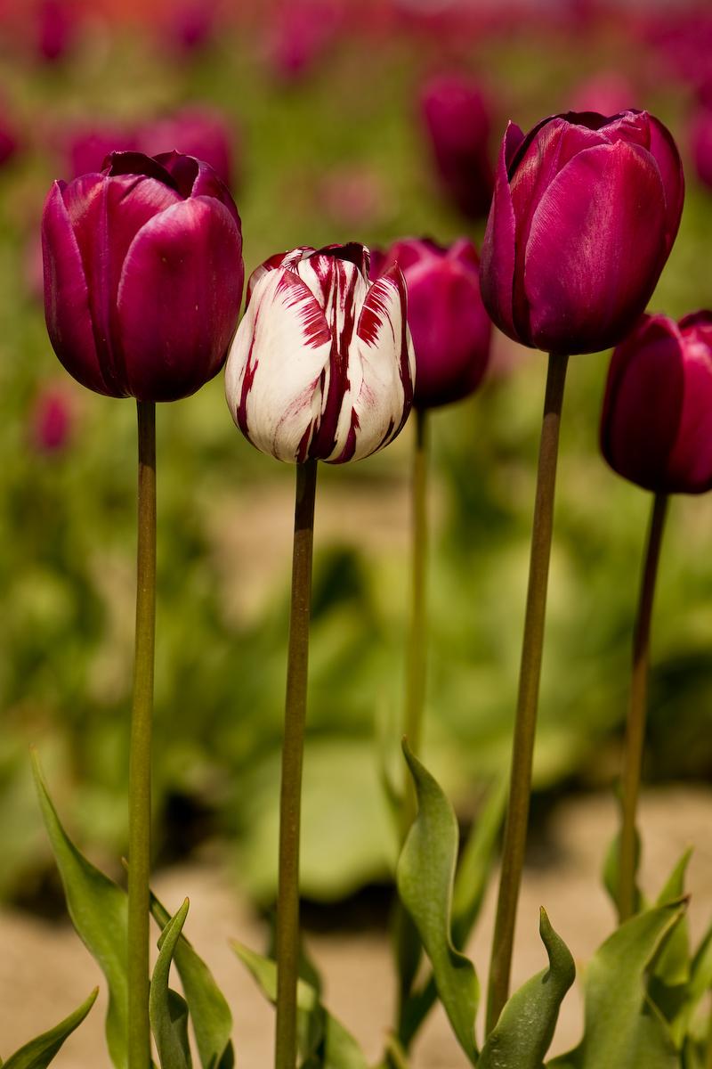Tulips (6 of 8)