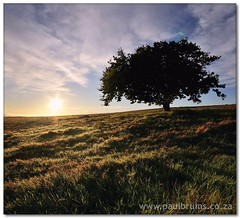 Sunrise Oak (Panorama Paul) Tags: sunrise oaktree soe durbanville novideo wetgrass nohdr mywinners abigfave shieldofexcellence nikfilters theperfectphotographer vertorama nikond300 wwwpaulbruinscoza